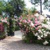 lisk - Brighton rozenboog