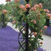 De Orangerie - voor een exclusieve Rozenboog of Obelisk - Rozen Obelisk Charleston