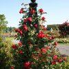 De Orangerie - voor een exclusieve Rozenboog of Obelisk - Rozen Obelisk Malmaison